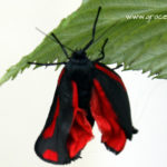 Burren moth on a raspberry leaf illustrating an article about wild animal rescue
