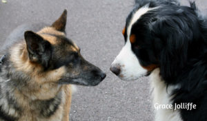 german-shepherd-and Burmese dog rub noses illustrating an article about wild animal rescue